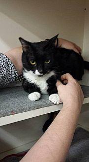 American Shorthair Cat for adoption in Tampa, Florida - MALUMA