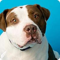 Adopt A Pet :: Noel - Roanoke, VA