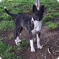 Adopt A Pet :: Roxie **In Foster home** - Breinigsville, PA
