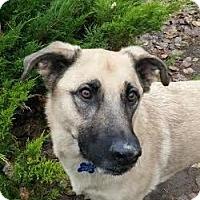 Adopt A Pet :: Scooby - Denver, CO
