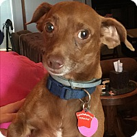 Chihuahua Mix Dog for adoption in Blanchard, Oklahoma - Papoose