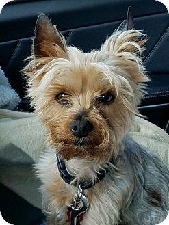 Yorkie, Yorkshire Terrier Dog for adoption in Suwanee, Georgia - Gucci