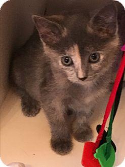 Russian Blue Kitten for adoption in Burbank, California - Baby Female Kitten Elsa