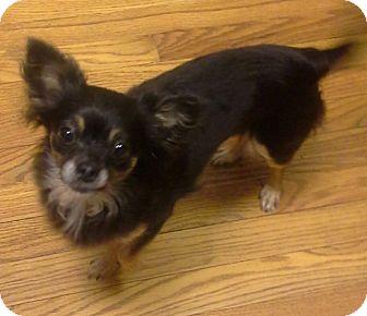 Chihuahua Mix Dog for adoption in Ball Ground, Georgia - Mambo
