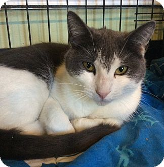 Domestic Shorthair Cat for adoption in Breinigsville, Pennsylvania - Greta