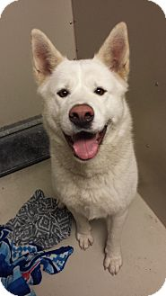 Akita Dog for adoption in Westminster, California - Katara