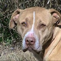 Staffordshire Bull Terrier Mix Dog for adoption in Tyler, Texas - TG-Wilbur