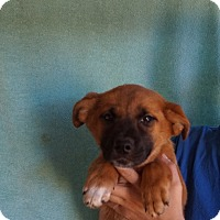 Adopt A Pet :: Paprika - Oviedo, FL