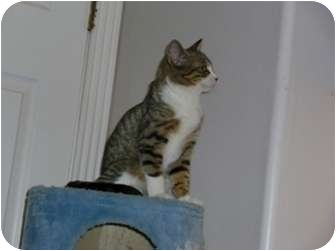 Domestic Shorthair Cat for adoption in Chandler, Arizona - Lincoln