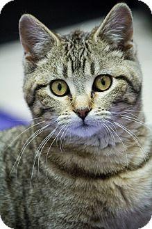 Domestic Shorthair Cat for adoption in Chicago, Illinois - Sassafras