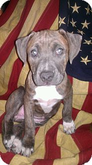 American Pit Bull Terrier Puppy for adoption in Roaring Spring, Pennsylvania - Karma