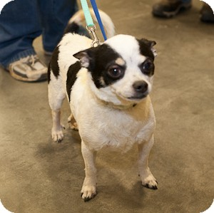 Chihuahua Mix Dog for adoption in Loudonville, New York - Edge