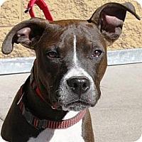 Adopt A Pet :: Vader - Gilbert, AZ