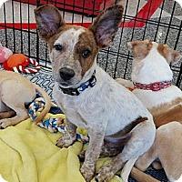 Adopt A Pet :: Bauer - Phoenix, AZ