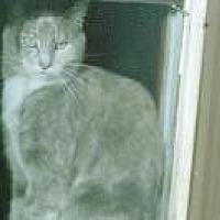 Domestic Mediumhair Cat for adoption in Flintstone, Maryland - yoda