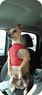Chihuahua Mix Dog for adoption in Spring, Texas - Paco