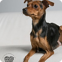 Miniature Pinscher/Chihuahua Mix Dog for adoption in Inglewood, California - Sweet