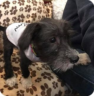 Standard Schnauzer Mix Puppy for adoption in Baltimore, Maryland - Basil