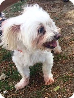 Maltese/Poodle (Miniature) Mix Dog for adoption in Memphis, Tennessee - Snowball