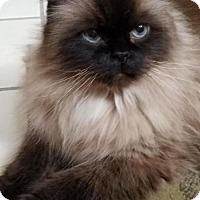 Adopt A Pet :: Samson - Naugatuck, CT