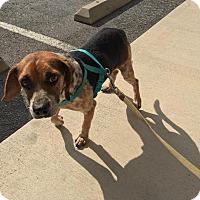 Adopt A Pet :: Bob - Jacksonville, NC