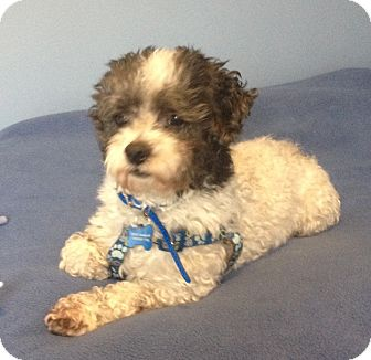Poodle (Miniature)/Lhasa Apso Mix Dog for adoption in Mt. Prospect, Illinois - Isaac