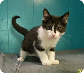 Domestic Shorthair Kitten for adoption in Dover, Ohio - Dan