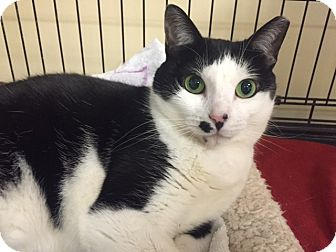 American Shorthair Cat for adoption in levittown, New York - TWINKIE