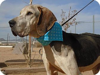 Treeing Walker Coonhound Dog for adoption in Apple Valley, California - Father Thyme-RIP 4/12/17