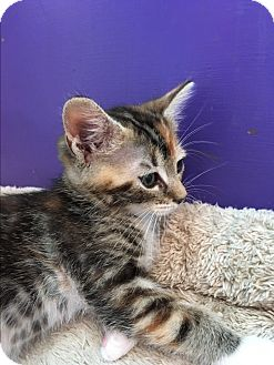 American Shorthair Kitten for adoption in San Jose, California - Cami
