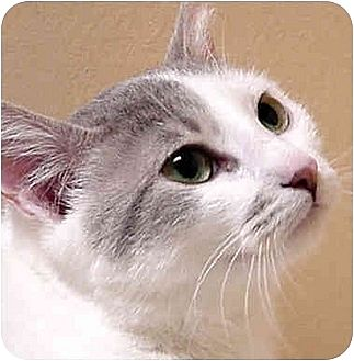 Domestic Shorthair Cat for adoption in Dallas, Texas - KATIE