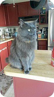 Domestic Shorthair Cat for adoption in Fredericksburg, Virginia - Alex