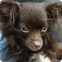 Chihuahua Mix Dog for adoption in Wethersfield, Connecticut - Max