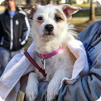 Terrier (Unknown Type, Medium)/Jack Russell Terrier Mix Dog for adoption in Arlington, Virginia - Gidget
