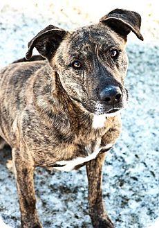 Pit Bull Terrier/Labrador Retriever Mix Dog for adoption in Kenai, Alaska - Compass