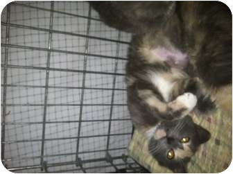 Domestic Shorthair Cat for adoption in Clay, New York - ERIN