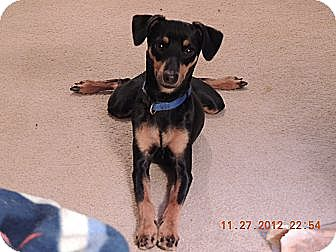 Miniature Pinscher Dog for adoption in Nashville, Tennessee - Spike