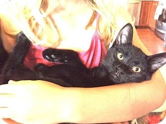 Domestic Shorthair Kitten for adoption in Rochester, Minnesota - Con Panna