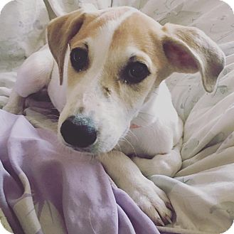 Hound (Unknown Type) Mix Puppy for adoption in Lexington, Kentucky - Ms. P