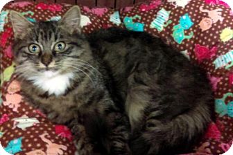 Maine Coon Kitten for adoption in Buford, Georgia - Destiny