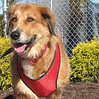 Shepherd (Unknown Type) Mix Dog for adoption in Windsor, Virginia - Mama Bear