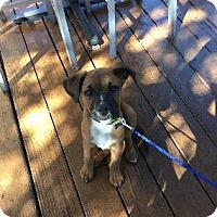 Adopt A Pet :: Bean - Richardson, TX
