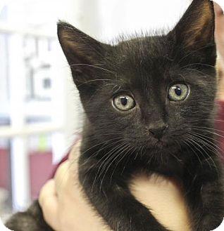 Domestic Shorthair Kitten for adoption in Plano, Texas - Mr. Spock