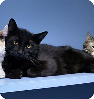 Domestic Shorthair Cat for adoption in West Des Moines, Iowa - Roan