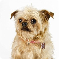 Brussels Griffon Dog for adoption in St. Louis Park, Minnesota - Florence