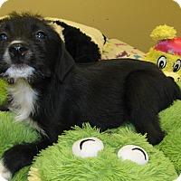 Adopt A Pet :: Dillie - Groton, MA