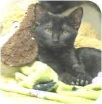 Domestic Shorthair Kitten for adoption in Mesa, Arizona - Charlotte and Tyler