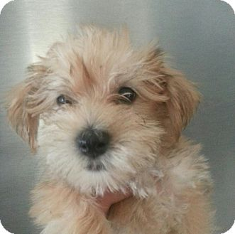 Maltese/Yorkie, Yorkshire Terrier Mix Puppy for adoption in Silver Lake, Wisconsin - REBA