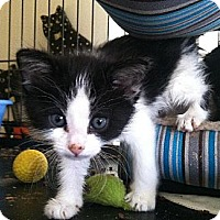 Domestic Shorthair Kitten for adoption in Los Angeles, California - kittens kittens kittens!!!