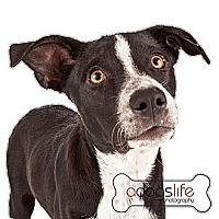Adopt A Pet :: Walley - Scottsdale, AZ
